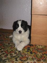 Продам щенка средне-азиатской овчарки